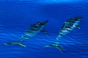 Spinner dolphins (Stenella longirostris) swimming just below surface, Aldabra Atoll