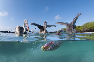 Split level view of Brown pelicans (Pelecanus occidentalis) feeding, Tortuga Bay