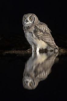 2019 highlights/spotted eagle owl bubo africanus subadult nigh water