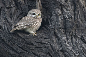 august 2019 highlights/spotted owlet athena brama keoladeo np bharatpur