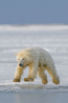 Spring cub Polar bear (Ursus maritimus) jumping from newly forming pack ice, Arctic coast