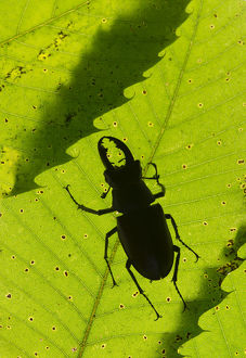 Stag beetle (Lucanus cervus) male silhouetted against leaf, controlled conditions