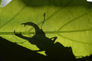 Stag beetle (Lucanus cervus) silhouetted against oak tree leaf. Elbe, Germany, June