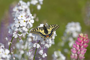 Swallowtail butterfly (Papilio machaon) in garden, Norfolk, England, UK, June