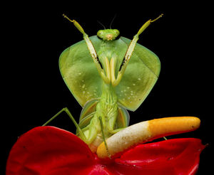 Tropical shield mantis (Choeradodis rhombicollis) in defensive position, on flower