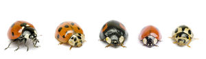 UK Ladybird species, native and invasive, from left to right: Seven-Spot (Coccinella