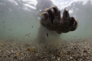 Underwater view of Brown bear (Ursus arctos) paw fishing for Sockeye salmon (Oncorhynchus
