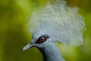 Victoria crowned pigeon (Goura victoria) head portrait, vulnerable species, captive