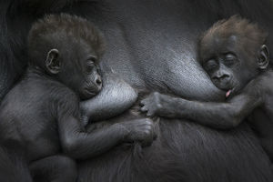 Western lowland gorilla (Gorilla gorilla gorilla) twin babies age 45 days resting