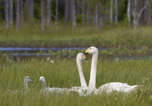 Whooper swans (Cygnus cygnus) and cygnet, Vaala, Finland, July
