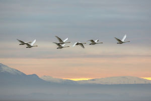 Whooper swans (Cygnus cygnus), flying at sunset, Caerlaverock Wildfowl & Wetland Trust WWT