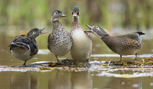 marie read/wood ducks aix sponsa females behave aggressively