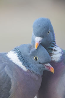 Wood pigeon (Columba palumbus) pair preening one another, The Netherlands