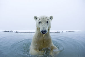 Young Polar bear (Ursus maritimus) in the water along the coast of the Beaufort Sea