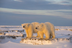 Two young Polar bears (Ursus maritimus) on newly formed pack ice, near Kaktovik