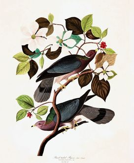 Band Tailed Pigeon, Columba Fasciata, 1845