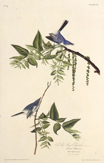 blue gray gnatcatcher the birds america 1827 1838
