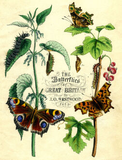 'The Butterflies of Great Britain', c1855. Artist: Unknown