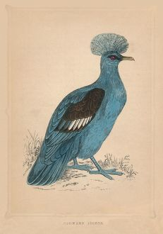 'Crowned Pigeon', (Goura), c1850, (1856). Artist: Unknown.