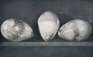 'Emperor Penguins' Eggs from Cape Crozier', 1911, (1913)