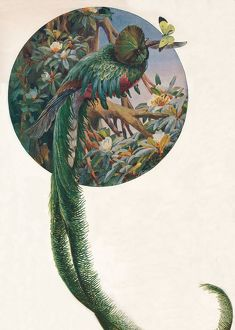 'Long-tailed Trogons', c1910, (1911). Artist: Louis Fairfax Muckley.