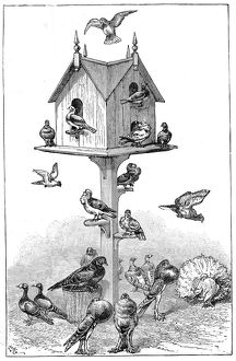 Pigeons used by Charles Darwin at Down House, near Beckenham, Kent, England, 1887