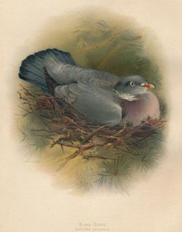 'Ring Dove (Columbs palumbus)', 1900, (1900). Artist: Charles Whymper.