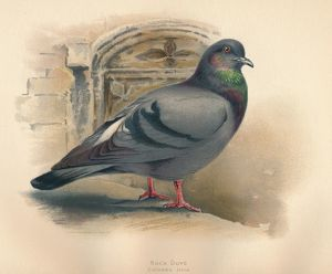 'Rock Dove (Columba livia)', c1900, (1900). Artist: Charles Whymper.