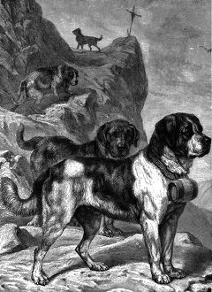 St Bernard mountain rescue dogs with flasks of brandy on their collars, c1880. Artist
