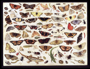 Study of butterflies and other insects. Artist: Kessel, Jan van, the Elder (1626-1679)
