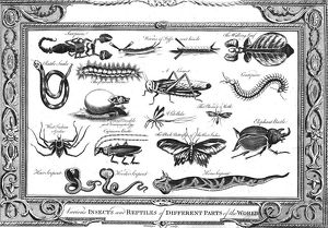 'Various Insects and Reptiles of Different Parts of the World'. Artist: W Grainger