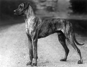FALL/GREAT DANE/1929