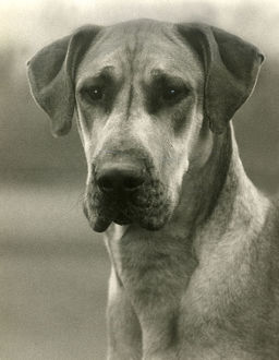 FALL/GREAT DANE/1938