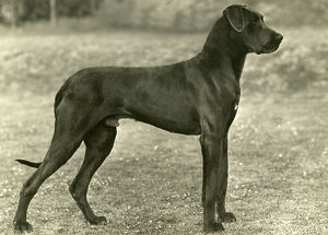 FALL/GREAT DANE/1949