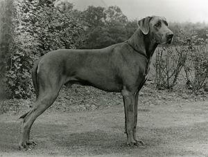 FALL/GREAT DANE/1972