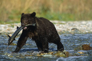 Adolescent Brown Bear Carrys Chum Salmon Sw Ak Summer Geographic Harbor