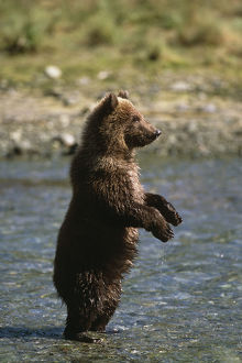 Adolescent Brown Bear Standing In River Sw Ak Summer Geographic Harbor