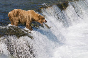 Adult Brown Bear Fishing For Salmon At Top Of Brooks Falls, Katmai National Park