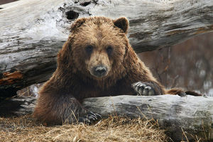An Adult Brown Bear Rests On A Log At The Alaska Wildlife Conservation Center Near Portage
