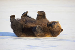 Adult Brown Bear Rolling On Its Back In The Snow At Alaska Wildlife Conservation Center