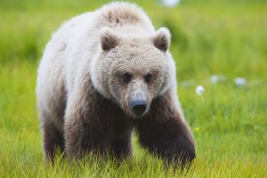 Adult Brown Bear Walking Amongst Grasses, Hallo Bay, Katmai National Park, Southwestern
