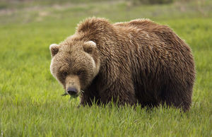 An Alaska Coastal Brown Bear At Mikfik Creek In The Mcneil River State Game Santuary