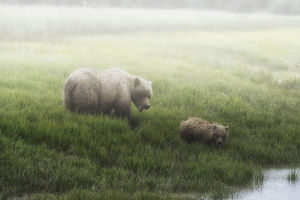 Alaska Peninsula Brown Bear (Ursus Arctos Horribilis) And It's Cub Walking To The