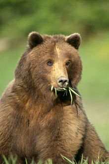 Alaska, Tongass National Forest, Brown Bear (Ursus Arctos) Foraging On Sedges, In