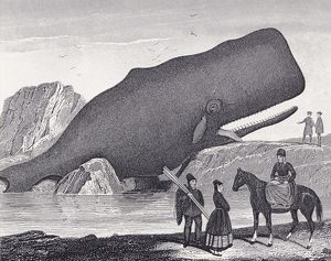 A Beached Sperm Whale, Physeter Macrocephalus. From A 19Th Century Print
