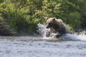A Brown Bear Chases Sockeye Salmon In A Small Stream In Katmai National Park, Alaska