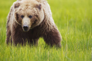 Brown bear up close at lake clarke national park;Alaska united states of america