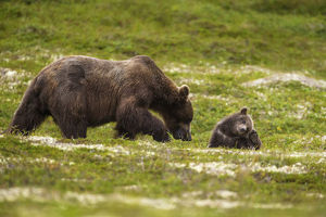 A Brown Bear Cub Plays On The Tundra While Its Mother Forages For Berries In Katmai