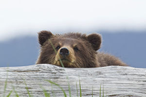 A Brown Bear Cub Rests Its Head On A Log In An Estuary On Admiralty Island, Pack Creek