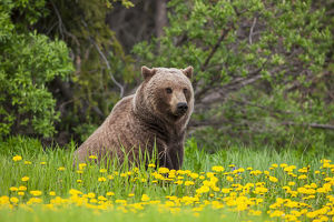 A Brown Bear Forages On Dandelions, Alsek-Tatenshini National Park, Accessable From